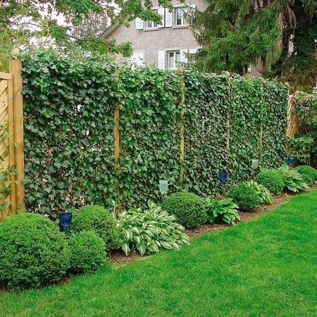 Живая изгородь в ландшафтном дизайне