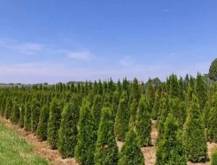 Выбираем хвойные растения в питомниках