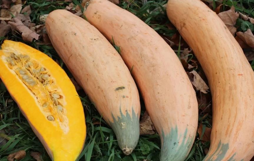 Тыква Розовый банан: ключевые особенности